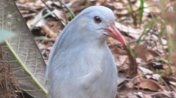 Nic face to face with a kagu bird.