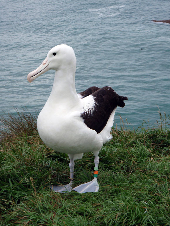 Toroa, the 500th royal albatross chick.