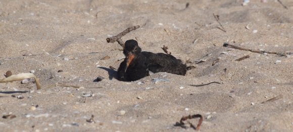 A variable oystercatcher.