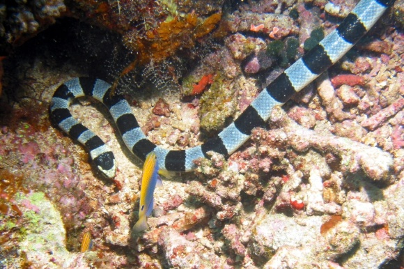 Banded sea krait.