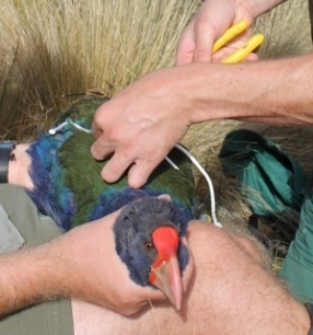 Takahē getting a transmitter change.