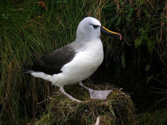 Yellow-nosed albatross on its nest.