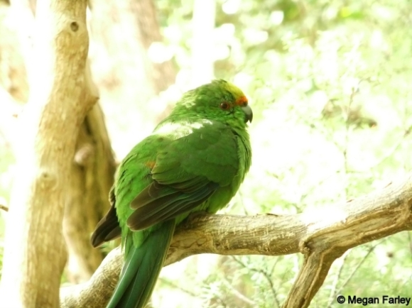 Young orange-fronted parakeet on Maud Island. Photo: Megan Farley.