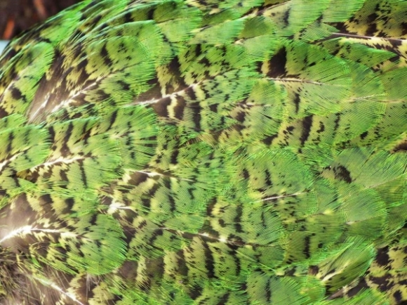 Maggie's feathers up close.