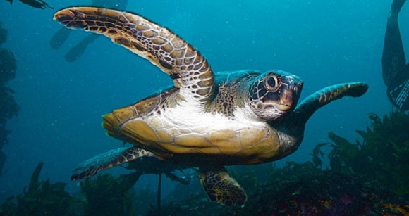 Green turtle swimming at Poor Knights Islands Marine Reserve.