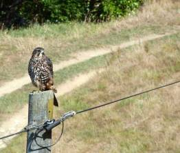 New Zealand falcon/kārearea.