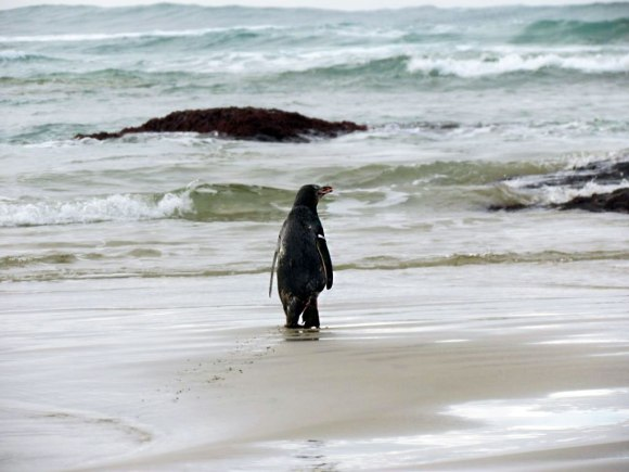 Cheryl Pullar releases a yellow-eyed penguin at Jack's Bay in the Catlins.