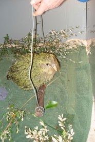 Daryl Eason teaching kākāpō chicks to hop on a weighing perch