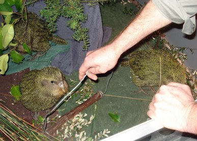 Daryl Eason teaching kākāpō chicks to hop on a weighing perch.