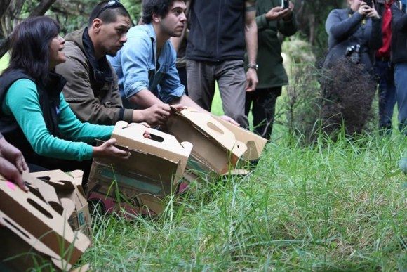 Robins being released on Moturua Island by local volunteers. Photo: Richard Robbins/Sally Wells.