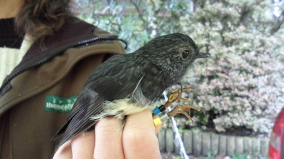 A North Island robin being banded on Moturua Island. Photo: Richard Robbins/Sally Wells.