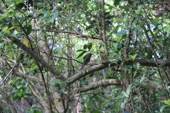 North Island robin/toutouwai in a tree. Photo: Richard Robbins/Sally Wells.