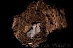 Kaka chicks. Photo © Dylan van Winkel.