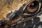 Mokohinau skink. Photo © Dylan van Winkel.