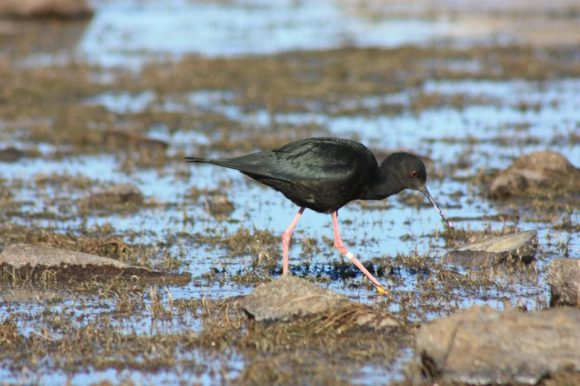 Kakī/black stilt. Photo: Mike Robb.