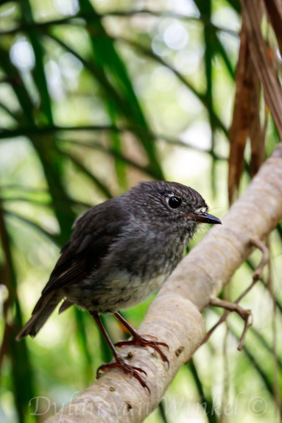 North Island robin, Mt Hauturu summit. Photo © Dylan van Winkel.