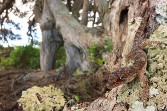 Dactylocnemis pacificus (Pacific gecko) sub-adult on Pohutukawa. Photo © Dylan van Winkel.