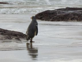 Yellow-eyed penguin running to the sea.