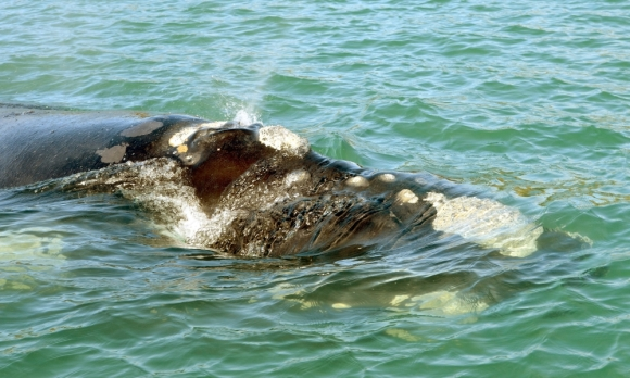 Callosities on the head of the southern right whale. Photo: Stephen Jaquiery
