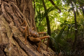 In the realm of Deinacrida heteracantha (Little Barrier Island giant weta)