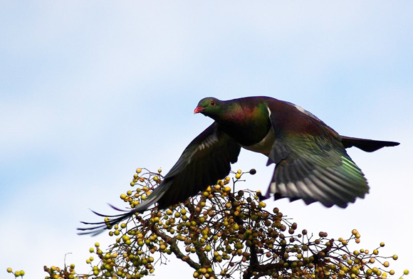 Kererū in flight. Photo: Southstar | flickr | CC BY 2.0.