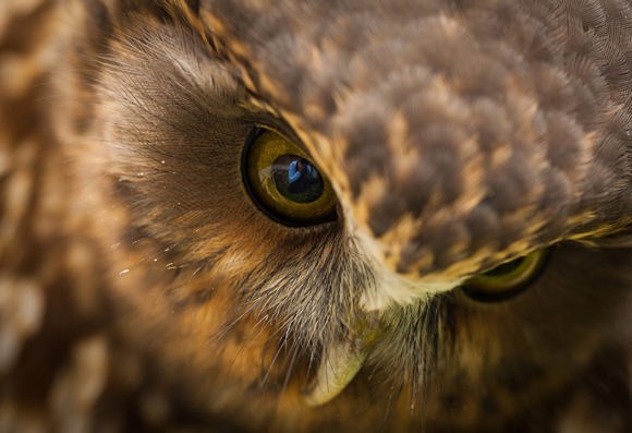 Morepork. Photo copyright Sabine Bernert.