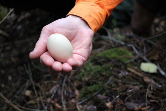 Ranger holds the first whio egg friom Kawhaka Creek.