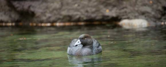 Whio / blue duck. Photo copyright Sabine Bernert. Used with permission.