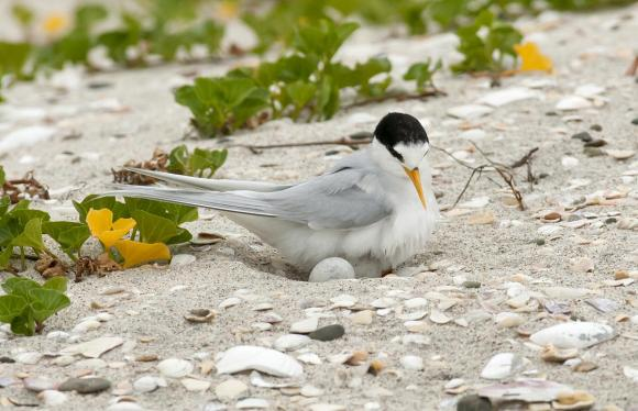 New Zealand fairy tern. Photo © Malcolm Pullman.