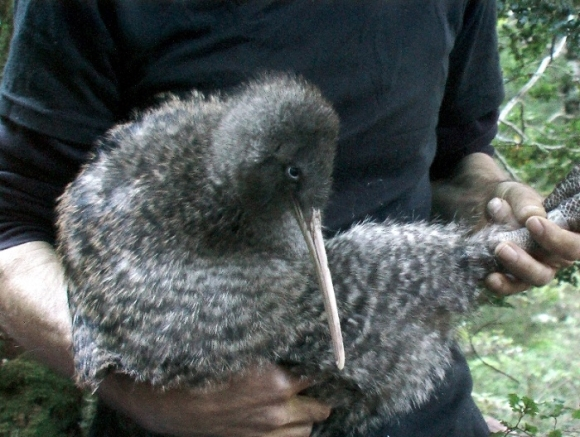 Rameka, a female great spotted kiwi held by a volunteer.