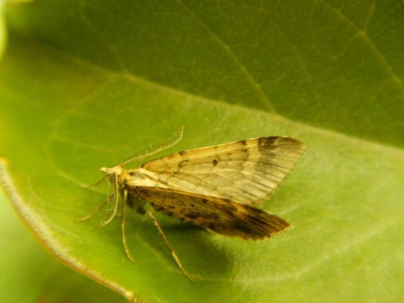 Asaphodes frivola/little brown moth. Photo: Brian Patrick.