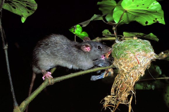 Ship rat eating fantail chicks at nest. Photo copyright David Mudge. DOC use only.