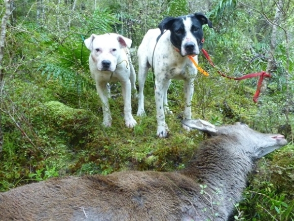 Two of the team's hunting dogs with one of the deers.