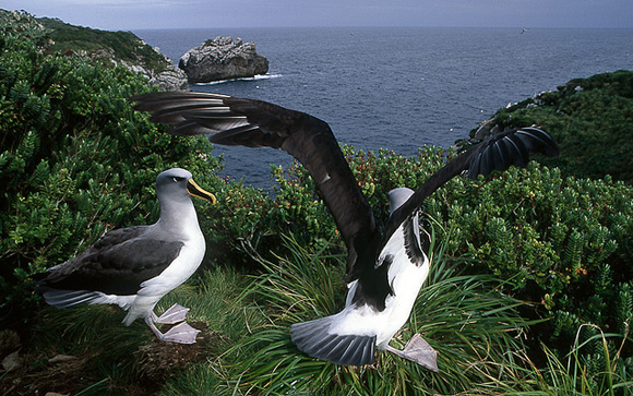 Buller's albatross. Snares Island. Photo: Dominique Filippi | CC BY-NC 2.0.
