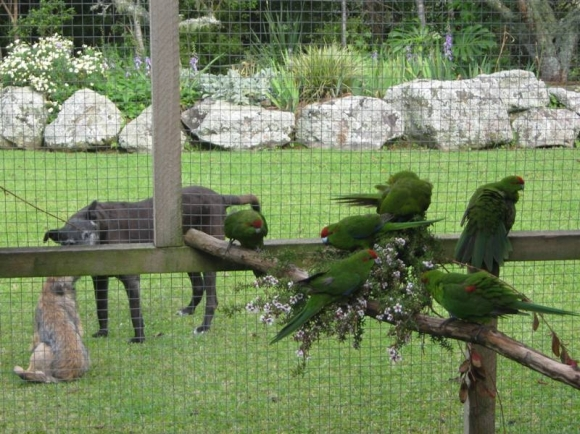 Kākāriki birds in an aviary with two dogs in the background.