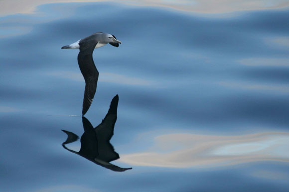 Salvin's albatross. Photo: Cameron Long.