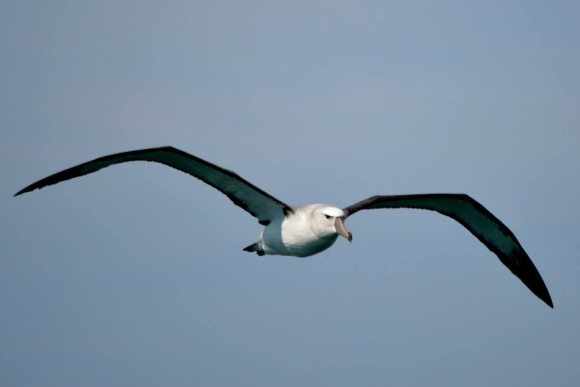 Albatross flying. Photo: Katherine Clements.