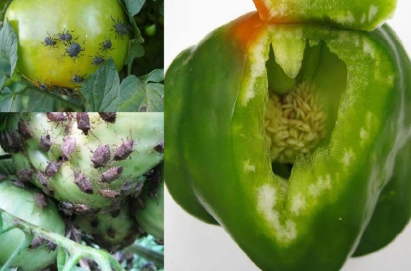 Stink bugs feeding on a tomato and pepper. Photo: Dr. Tracy Leskey