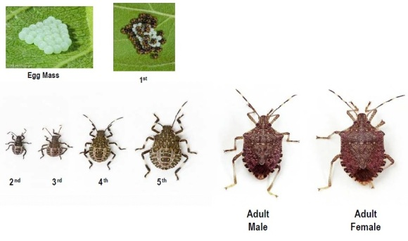 Brown marmorated stink bug life stages. Photo: Dr. Tracy Leskey