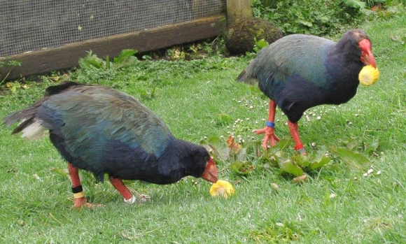 Uncle Aka and Monty the takahē eating corn off the cob.