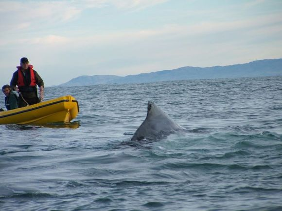 The DOC team approach the humpback whale.
