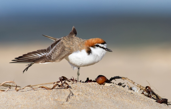 Red-capped plover.
