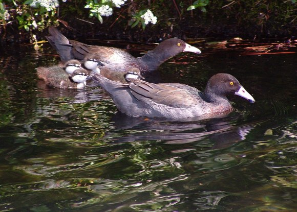 Whio / blue duck family. Photo: Herb Christophers. DOC use only.