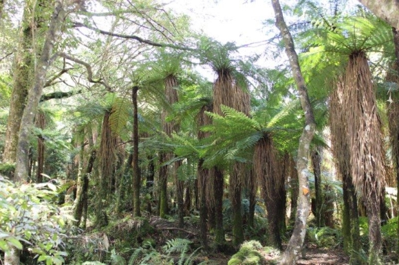 Native New Zealand forest with tree ferns.
