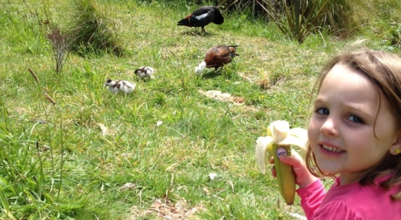 Esme hanging out with the paradise ducks at Zealandia.