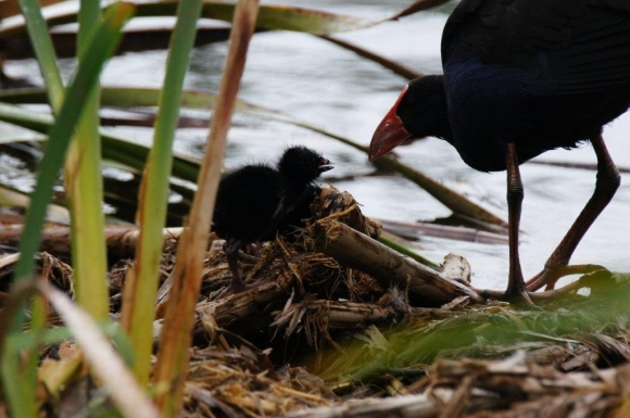 Pūkeko chick being fed by an adult pūkeko. Photo: Des Williams.