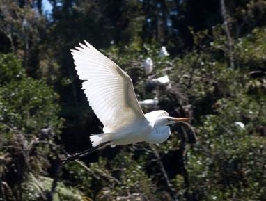 Kotuku/white heron.