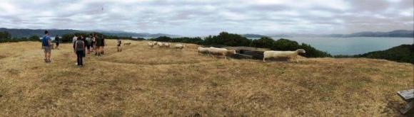 Sheep on Matiu Somes Island, warped by the camera's panorama function.