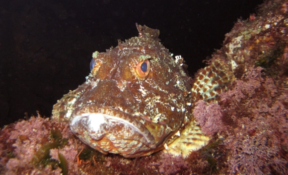 Scorpion fish, Poor Knights Marine Reserve. Photo: Debbie Freeman.