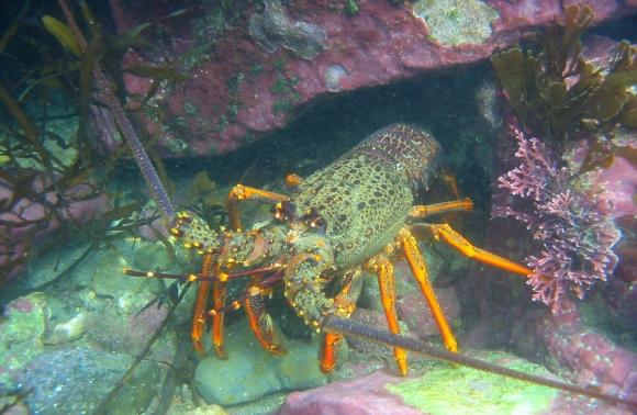 Crayfish at Te Tapuwae o Rongokako Marine Reserve. Photo: Jamie Quirk.